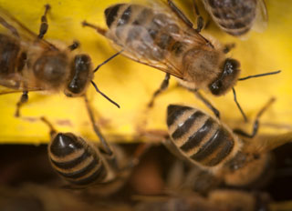 Bee Study on Age-Related Dementia